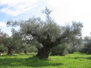 Ancient Olive Tree Israel