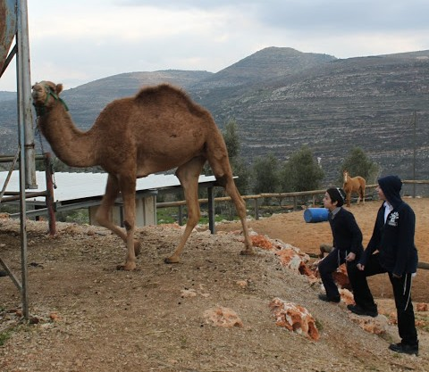 Checking out the Camel at the Ranch in Itamar